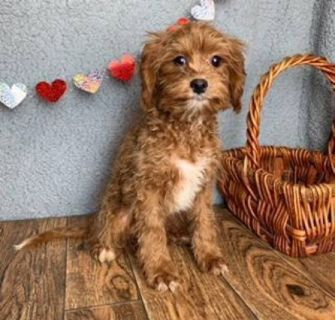 Scruffy Male Cavapoo