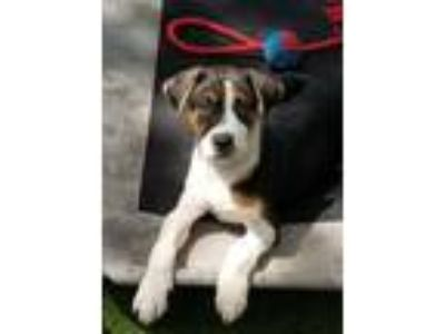 Adopt Payton DD a Tricolor (Tan/Brown & Black & White) Beagle / Shepherd