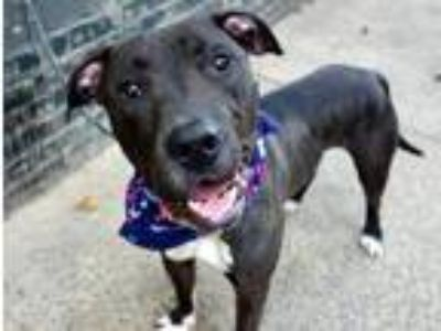 Adopt King Tut a Black - with White American Pit Bull Terrier / Mixed dog in