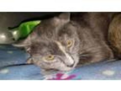 Adopt Mary Poppins a Domestic Short Hair