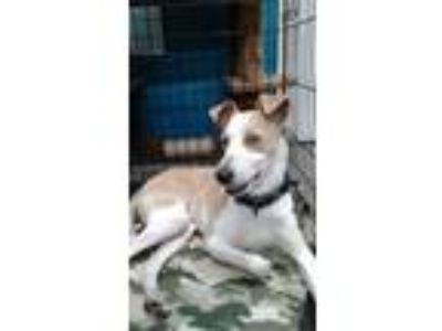 Adopt Bentley a White - with Tan, Yellow or Fawn Whippet / Mixed dog in