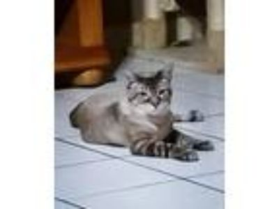 Adopt Armani a Domestic Shorthair / Mixed (short coat) cat in St.
