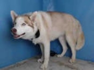 Adopt LUNA a Tricolor (Tan/Brown & Black & White) Husky / Mixed dog in