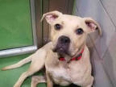 Adopt SCARY a Brown/Chocolate American Pit Bull Terrier / Pug / Mixed dog in