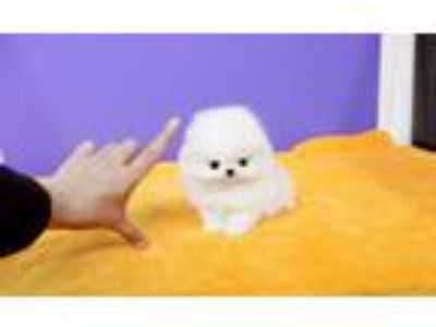 Pomeranians Puppies Ready for Adoption.: [phone removed]
