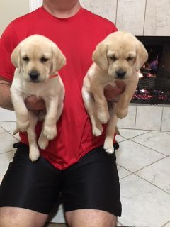 Labrador Retriever PUPPY FOR SALE ADN-113276 - AKC Yellow Labrador Puppies with Champion Pedigree
