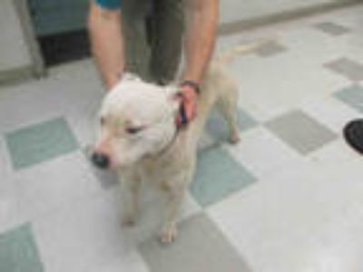 Adopt BUDDY a White American Staffordshire Terrier / Mixed dog in Oklahoma City