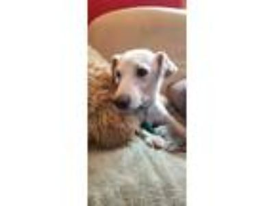 Adopt Jellybean a White - with Black Jack Russell Terrier / Mixed dog in