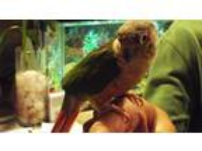 Adopt Koby a Conure