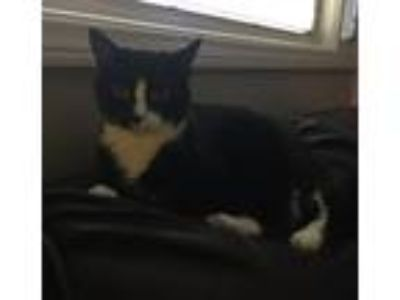 Adopt Kitty a Black & White or Tuxedo Domestic Shorthair (short coat) cat in