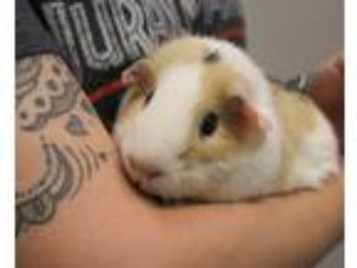 Adopt Percy Pigglepop a White Guinea Pig (short coat) small animal in Yucca
