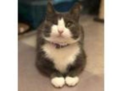 Adopt Bluebelle a Gray or Blue Domestic Shorthair / Domestic Shorthair / Mixed