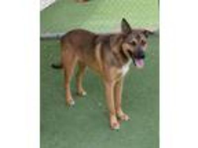 Adopt Diesel a Tan/Yellow/Fawn Shepherd (Unknown Type) / Mixed dog in Rockwall
