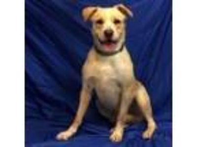 Adopt Kelly a Tan/Yellow/Fawn Retriever (Unknown Type) dog in Show Low
