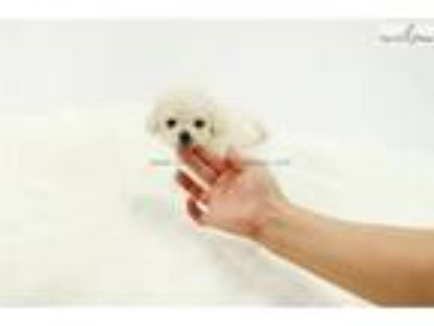 Micro Teacup Poodle Puppies For Sale - Tiffany