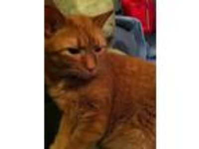 Adopt Moe - COURTESY POST a Domestic Short Hair
