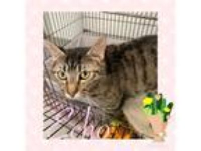 Adopt Echo a Gray or Blue Domestic Shorthair / Domestic Shorthair / Mixed cat in