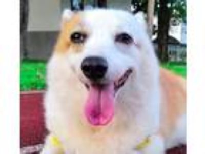 Adopt Emma a Corgi / Mixed dog in San Ramon, CA (25891360)