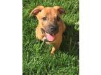 Adopt R2d2 a Brindle Boxer / Mixed dog in West Allis, WI (25578035)