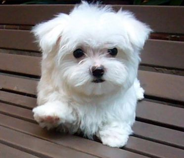 STUNNING BICHON/ MALTESE PUPPIES FOR SALE!!
