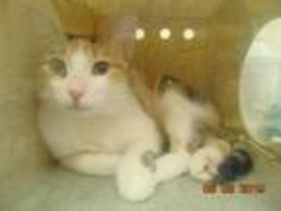 Adopt REESE a Calico or Dilute Calico Domestic Shorthair / Mixed (short coat)