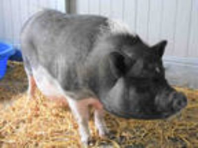 Adopt CHARLOTTE a Pig (Farm) / Mixed farm-type animal in Loveland, CO (25897080)
