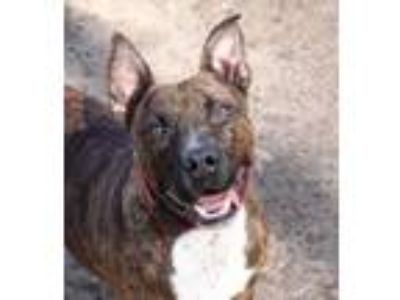 Adopt Rufus a Brindle American Pit Bull Terrier / Mixed dog in Spartanburg