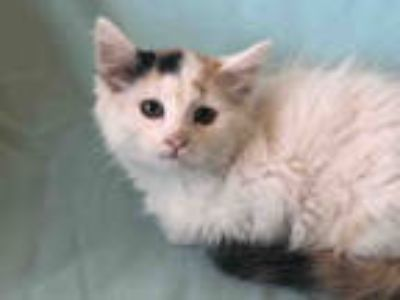 Adopt SHANIA a Calico or Dilute Calico Domestic Longhair / Mixed (long coat) cat