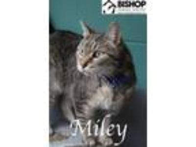 Adopt Miley a Domestic Short Hair