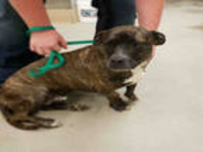 Adopt a Brindle - with White American Pit Bull Terrier / Dachshund / Mixed dog