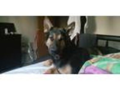 Adopt Bella a Black - with Tan, Yellow or Fawn German Shepherd Dog dog in