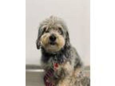 Adopt BAXTER a Poodle, Parson Russell Terrier