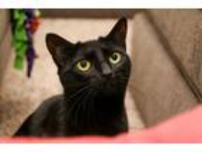 Adopt Macie a All Black Domestic Shorthair (short coat) cat in Charlotte