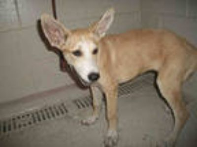 Adopt a Tan/Yellow/Fawn - with White German Shepherd Dog / Mixed dog in Winter