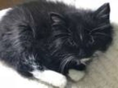 Adopt Wager a Domestic Long Hair
