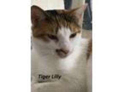 Adopt Tigerlily a Domestic Short Hair