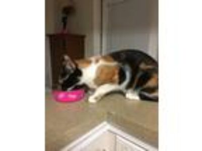 Adopt Angel a Calico or Dilute Calico Calico cat in Lexington, SC (25899800)