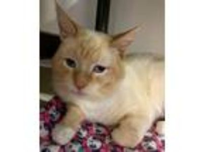 Adopt Oats a Domestic Short Hair