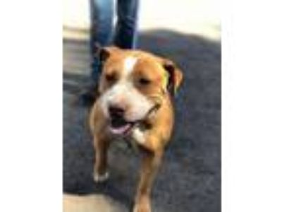 Adopt Sunflower a Pit Bull Terrier, Mixed Breed