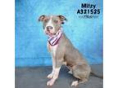 Adopt A321525 a Pit Bull Terrier, Mixed Breed