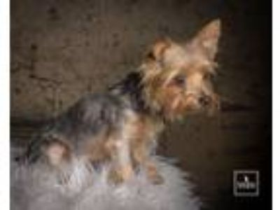 Adopt Little Mama a Yorkshire Terrier
