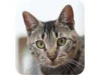 Adopt Tikka 26258-c a Brown or Chocolate Domestic Shorthair / Domestic Shorthair