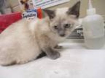 Adopt Cream a Siamese, Domestic Short Hair