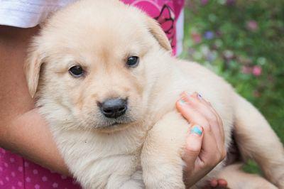 Labrador Retriever PUPPY FOR SALE ADN-108870 - Beautiful AKC Yellow Lab puppies
