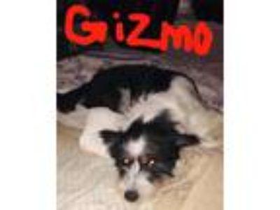 Adopt Gizmo a White - with Black Australian Terrier / Australian Cattle Dog /