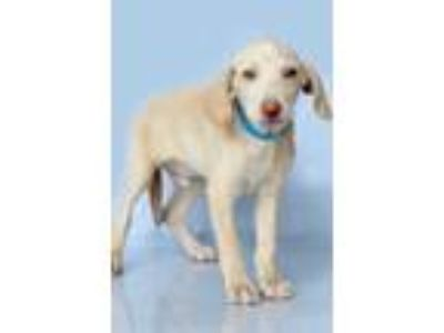 Adopt Penn a Tan/Yellow/Fawn - with White Hound (Unknown Type) / Mixed dog in