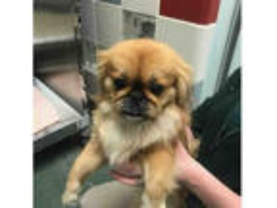 Adopt ANGEL a Brown/Chocolate Pekingese / Mixed dog in Plano, TX (25286864)