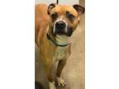 Adopt Whip a Brown/Chocolate Boxer / Mixed dog in Owosso, MI (25258178)