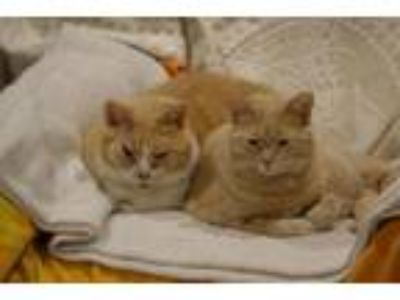 Adopt Hunter and Buffy- pals forever a Domestic Short Hair