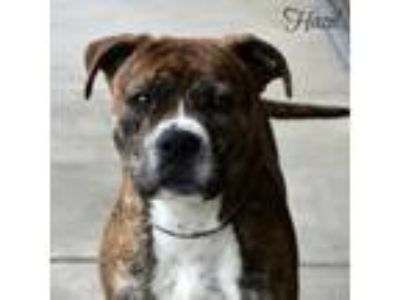 Adopt Hazel 190335 a Pit Bull Terrier, Mixed Breed